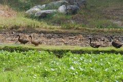Kaczki odprowadzenie obok Mung fasoli pola Obrazy Stock
