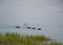 Kaczki pływa w jeziorze zdjęcie stock