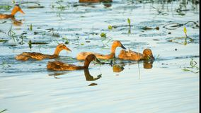 Kaczki pływa w rzece zdjęcia stock