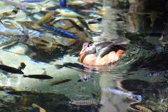 Kaczki pływa w stawie fotografia royalty free