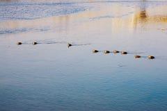 Kaczki pływa wzdłuż rzeki fotografia stock
