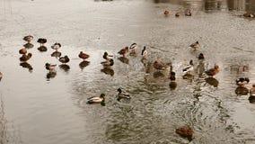 Kaczki pływanie w stawie w zimie zdjęcie wideo
