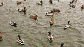 Kaczki pływanie w stawie w zimie zbiory wideo