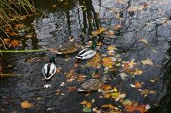 Kaczki pływa w rzece Niemcy obrazy royalty free