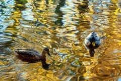 Kaczki pływa w stawie z abstraktem zamazywali odbicie aut obraz stock