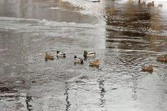 Kaczki pływanie w otwartej wodzie Obraz Royalty Free