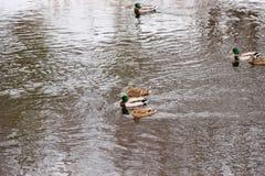 Kaczki pływanie w otwartej wodzie Zdjęcia Stock