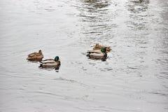 Kaczki pływanie w otwartej wodzie Zdjęcie Stock