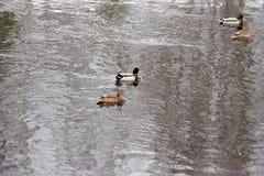 Kaczki pływanie w otwartej wodzie Zdjęcie Royalty Free