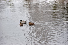 Kaczki pływanie w otwartej wodzie Obraz Stock