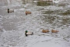 Kaczki pływanie w otwartej wodzie Fotografia Stock