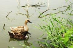 Kaczki pływanie w stawie Obraz Royalty Free