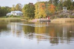 Kaczki pływanie w stawie Fotografia Royalty Free