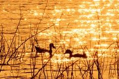 Kaczki pływanie w wieczór Zdjęcia Royalty Free