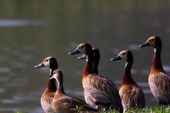 Kaczki patrzeje jezioro Fotografia Stock