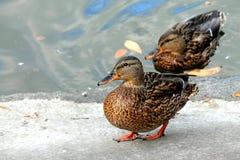 Kaczki pozycja na jeziornym brzeg Obrazy Royalty Free