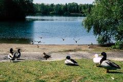 Kaczki przy brzeg jezioro Obraz Stock