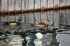 Kaczki przy dokiem Obrazy Royalty Free