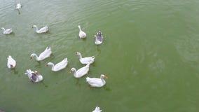 Kaczki przy Nakki Jeziorną górą Abu obrazy royalty free
