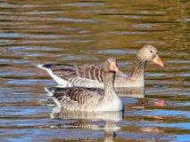 Kaczki przy parkowym jeziorem Zdjęcie Stock