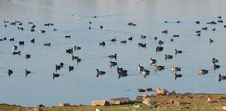 Kaczki przy Randarda jeziorem Obrazy Stock