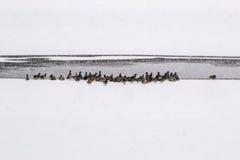 Kaczki przy zamarzniętym jeziorem Zdjęcie Royalty Free