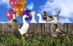 Kaczki przyjęcie Obrazy Royalty Free