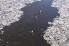 Kaczki pływa, siedzi i chodzi na lodzie Moskwa rzeka w Listopadzie, Zdjęcia Stock