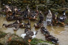 Kaczki relaksuje przy wioską obraz royalty free