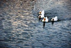 kaczki rodzina Zdjęcia Royalty Free