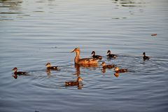 Kaczki rodzina Fotografia Stock