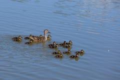 Kaczki rodzina Obrazy Royalty Free