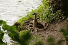 Kaczki rodzina Zdjęcie Stock