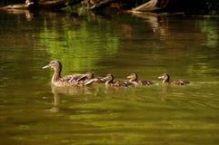 Kaczki rodzina Obraz Royalty Free