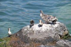Kaczki rodzina na Jeziornym Gardzie Zdjęcia Stock