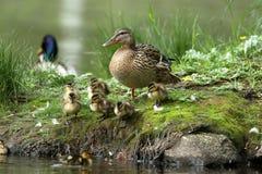Kaczki rodzina z kaczek kurczątkami Zdjęcie Stock