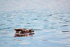 kaczki rzeka Zdjęcia Stock