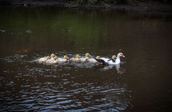 Kaczki rzeka obrazy stock