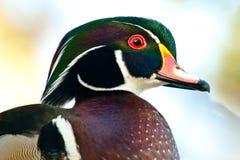 kaczki samiec drewno zdjęcie royalty free