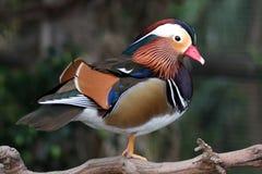 kaczki samiec mandarynka Obrazy Stock