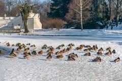 Kaczki siedzą na zamarzniętym jeziorze Obraz Stock