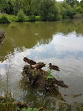 Kaczki siedzi na beli Fotografia Stock