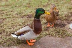 Kaczki siedzi na trawie Fotografia Royalty Free