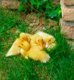 Kaczki skwaszać w trawie fotografia stock