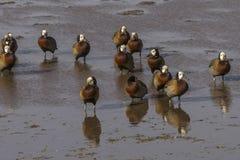 kaczki stawiali czoło świszczącego biel Obraz Royalty Free