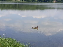 Kaczki sunie na wodzie Zdjęcia Stock