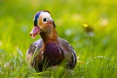 kaczki trawy maddarin Fotografia Royalty Free
