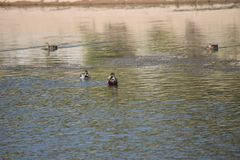 Kaczki tropi ryby zdjęcia stock