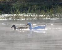 Kaczki unosi się na stawowym mgły wydźwignięciu od wody Zdjęcia Royalty Free