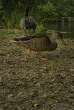 Kaczki wędruje wokoło blisko wody przy SÃ ¼ dpark, Dusseldorf, G obraz stock